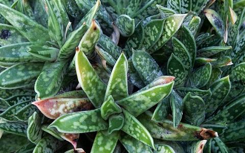 xopark2Gasteria-liliputana