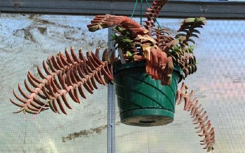 xopark2Gasteria-rawlinsonii