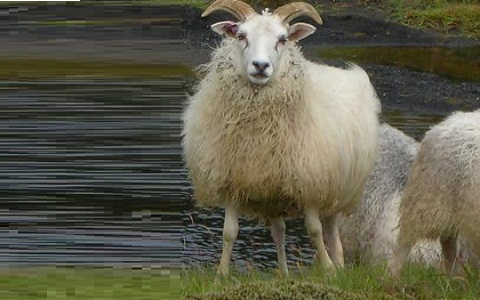 xopark2Mouton-islandais—Icelandic-sheep