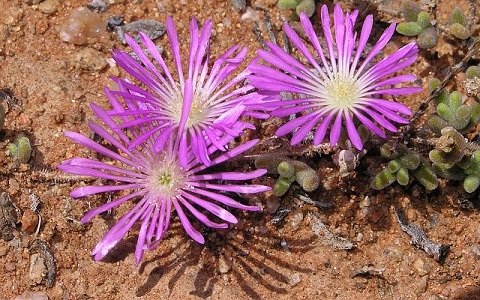 xopark3Drosanthemum-hispidum—Ficoide
