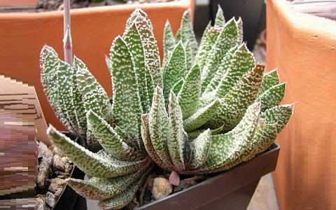xopark3Gasteria-carinata