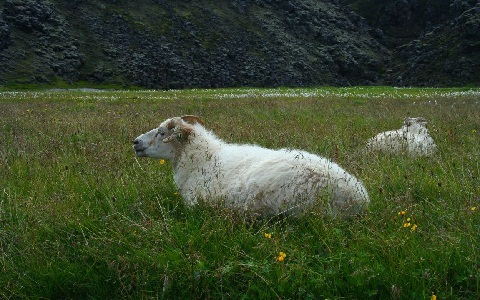 xopark3Mouton-islandais—Icelandic-sheep