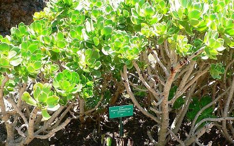 xopark4Aeonium-balsamiferum