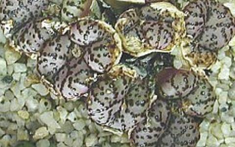 xopark4Conophytum-obcordellum