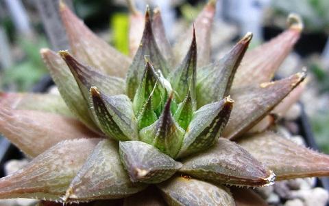 xopark4Haworthia-maculata