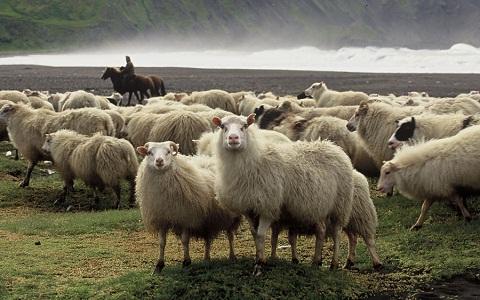 xopark4Mouton-islandais—Icelandic-sheep