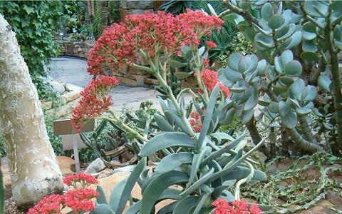 xopark5Crassula-perfoliata