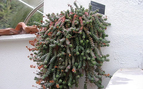 xopark5Crassula-perforata