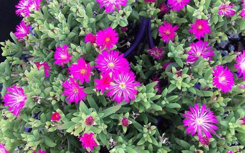 xopark5Drosanthemum-hispidum—Ficoide