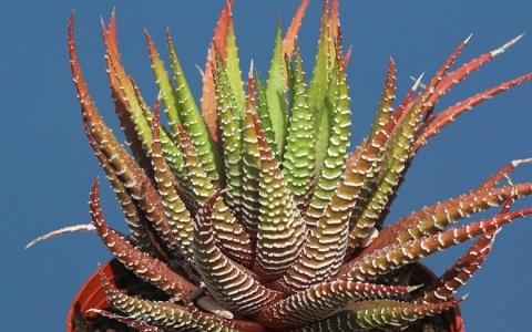xopark5Haworthia-fasciata