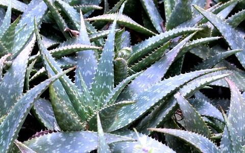 xopark6Aloe-saponaria—Aloe-zébrée