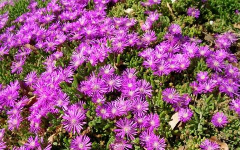xopark6Drosanthemum-hispidum—Ficoide