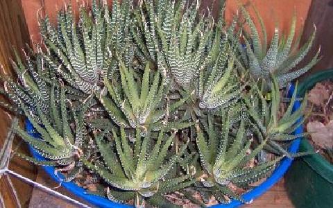 xopark6Haworthia-fasciata