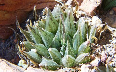 xopark6Haworthia-maculata