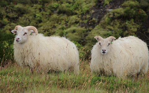 xopark6Mouton-islandais—Icelandic-sheep
