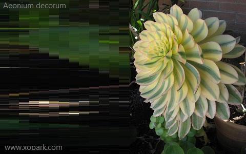 xopark7Aeonium-decorum