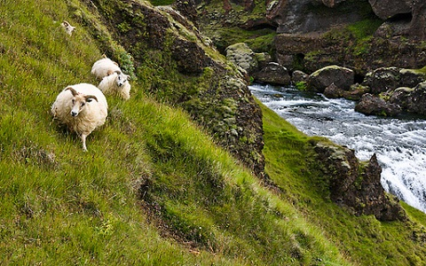 xopark7Mouton-islandais—Icelandic-sheep