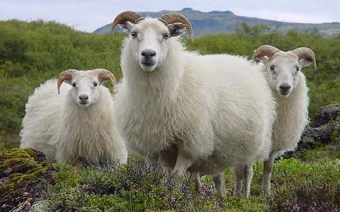 xopark8Mouton-islandais—Icelandic-sheep