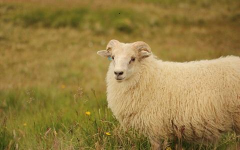 xopark9Mouton-islandais—Icelandic-sheep
