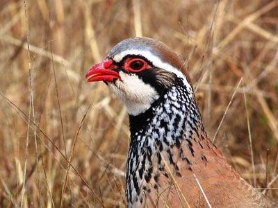 Phasianidae : Perdrix