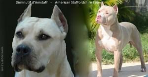 American Staffordshire Terrier ou Diminutif d'Amstaff, Staffordshire Bull Terrier, Staffordshire Terrier americain Staffordshire Terrier americain