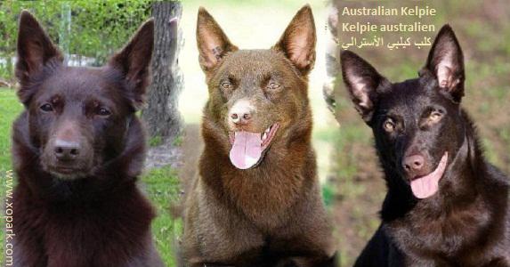 Kelpie australien, Australian Kelpie