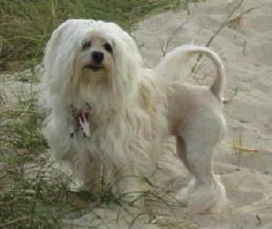 xopark000Petit-lion---Löwchen---Little-Lion-Dog