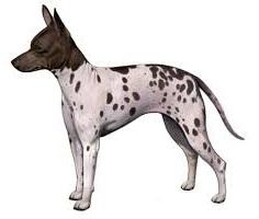 xopark000Terrier-chauve-américain---American-Hairless-Terrier