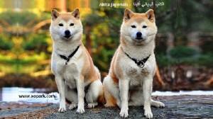 Akita japonais