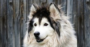 Malamute d'Alaska ou Alaskan malamute, Mal or Mally