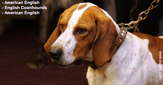 American English - English Coonhounds