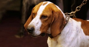 American English, Redtick Coonhound, English Coonhound, American English Coonhound English Coonhound, Redtick Coonhound