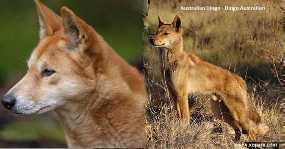 Dingo Australien