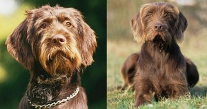 Barbu tcheque, Ceský Fousek, Bohemian Wire-haired Pointin, Griffon, Rough-coated Bohemian , Pointer