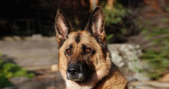 xopark00Berger-allemand—German-Shepherd
