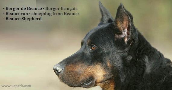 Berger de Beauce, Berger français, Beauceron; sheepdog from Beauce, Beauce Shepherd, Chien de berger de Beauce, Bas-Rouge, French Shorthaired Shepherd, Beauce Sheep dog, Beauce Shepherd, Berger de Beauce, Bas Rouge