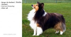 Berger de shetland - Sheltie - Shetland - Shetland Sheepdog