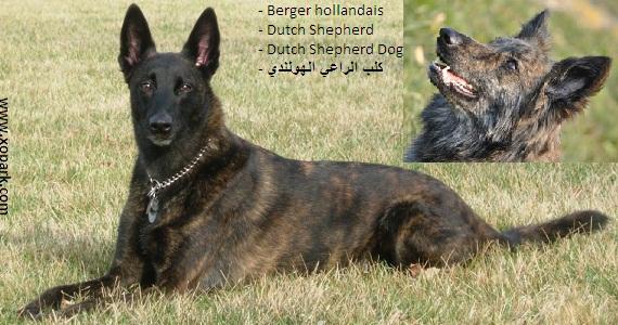 Berger hollandais ou Chien Berger hollandais - Dutch Shepherd Dog