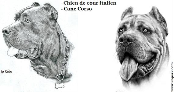 Chien de cour italien, Cane Corso, Cane Corso Italiano, Italian Corso, Italian Corso Dog, Italian Mastiff, Vieux Mastif