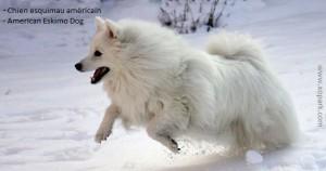 Esquimau américain