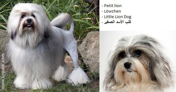Löwchen - Little Lion Dog - Petit lion - Petit chien lion - Pequeño perro león /