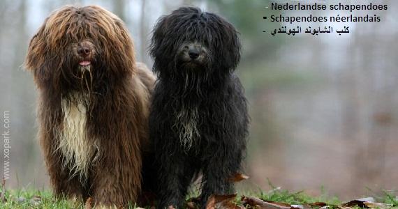 Schapendoes néerlandais - Nederlandse schapendoes - Herdersdroes, Siep, Olde Grise /