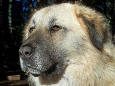 berger d anatolie anatolian shepherd dog karabash coban k pegi. Black Bedroom Furniture Sets. Home Design Ideas