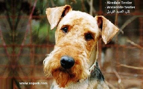 xopark10Airedale-Terrier