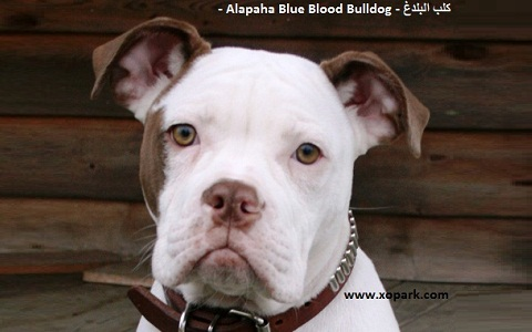xopark10Alapaha-Blue—Blood-Bulldog