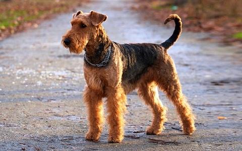 xopark1Airedale-Terrier