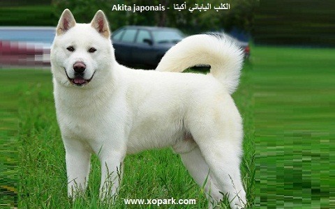 xopark1Akita-japonais