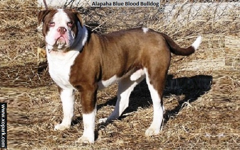 xopark1Alapaha-Blue—Blood-Bulldog