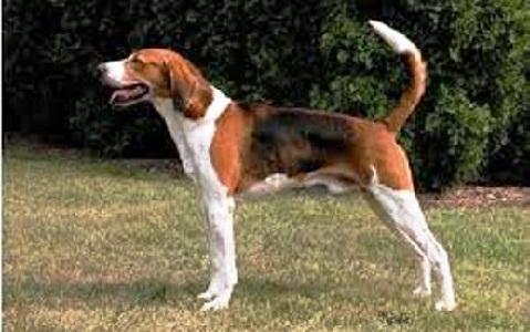 xopark1American-Foxhound