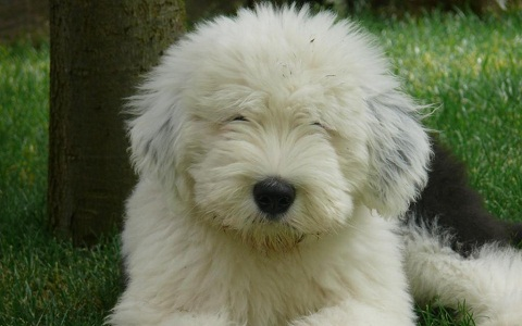 xopark1Berger-anglais—Bobtail—English-sheepdog—Berger-anglais—ancestral-Old—English-sheepdog